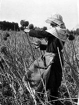 Roger-Viollet | 978701 | Collecting leek seeds. France, 1930. | © Jacques Boyer / Roger-Viollet