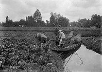 Roger-Viollet | 1030146 | Cultivation of cabbages in a marsh | © Maurice-Louis Branger / Roger-Viollet