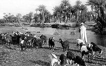 Roger-Viollet | 1034860 | Goat breeding in the south of Algeria, around 1910. | © CAP / Roger-Viollet