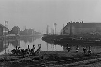 Roger-Viollet | 1041202 | Along the river Deûle. Geese. Lille (France), 1953. Photograph by Jean Marquis (1926-2019). | © Jean Marquis / Roger-Viollet