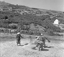 Roger-Viollet | 1069712 | Wheat Harvest. M'Zaourat, Mascara Area, during the Algerian War of Independence, Summer 1961. | © Jean-Pierre Laffont / Roger-Viollet