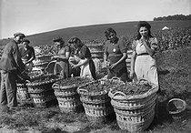 Roger-Viollet | 1071362 | Grape harvest in the Champagne region (Moët et Chandon), 1941. | © LAPI / Roger-Viollet
