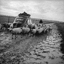 Roger-Viollet | 1076138 | 4 CV Renault car in the middle of a flock of sheeps, near Saint-Malo (Ille-et-Vilaine), about 1955-1960. | © Pierre Jahan / Roger-Viollet